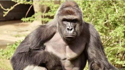 160529100440_gorilla_killed_in_cincinnati_zoo_reuters_624x351_reuters